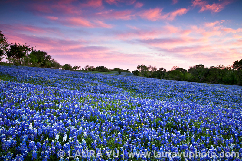 Texas Bluebonnets Photos in Ennis, Texas
