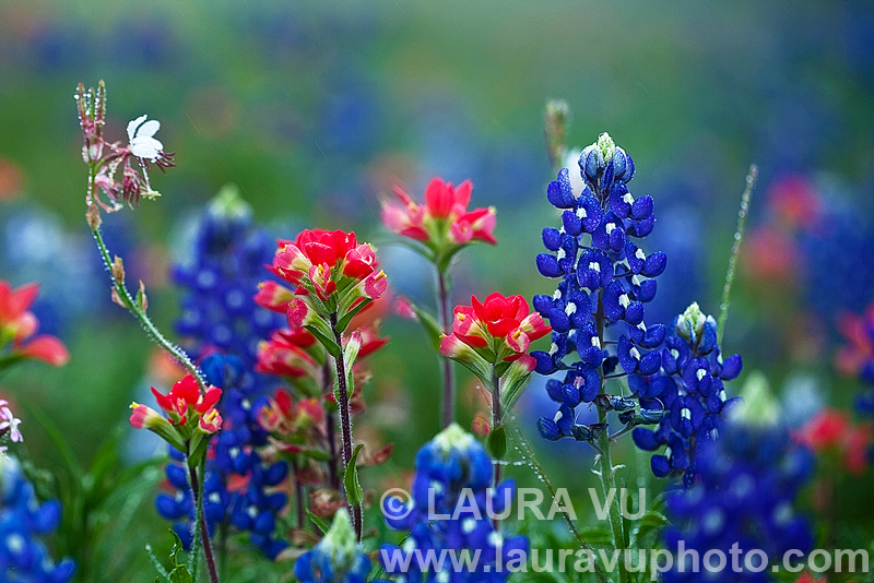 Texas bluebonnets and Indian Paintbrush Photo