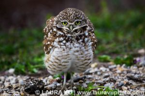 Does this dress make me look fat?  Burrowing Owl, Dallas County, TX